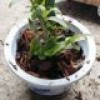 How to grow dendrobium in a pot