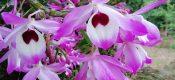 Dendrobium nobile Lindl pictures
