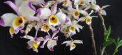 Dendrobium wardianum Warner