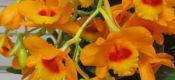 Dendrobium aurantiacum Rchb.f. var. denneanum
