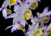 Dendrobium crystallinum Rchb. f picture