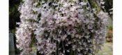 Dendrobium aphyllum (Roxb.)C.E.