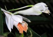 Dendrobium longicornu Lindl. Picture