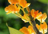 Dendrobium chrysanthum Lindl. Picture