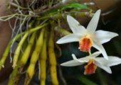 Dendrobium heterocarpum Lindl.
