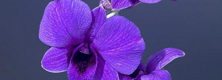 Dendrobium spp. picture 02
