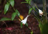 Dendrobium longicornu Lindl.