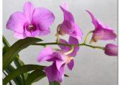 Beautiful dendrobium spp.