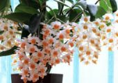 Dendrobium thyrsiflorum Rchb. f.