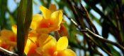 Dendrobium aurantiacum Rchb. f. Picture