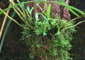 Dendrobium wilsonii Rolfe