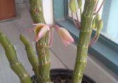 Dendrobium crepidatum Lindl. ex Paxt.