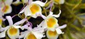 Dendrobium findlayanum Par. et Rchb. f.