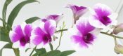 Dendrobium spp. picture