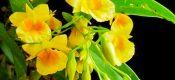 Dendrobium Capillipes Rchb Picture