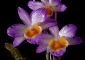 Dendrobium crepidatum Lindl. ex Paxton Picture
