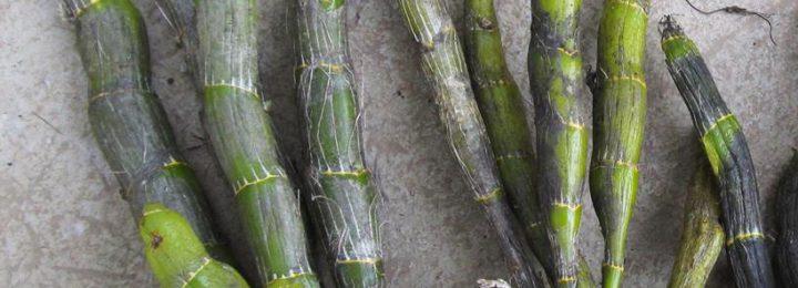 Dendrobium heterocarpum Lindl. picture