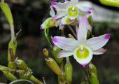 Dendrobium findlayanum Par. Et Rchb. F. picture