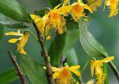 Dendrobium brymerianum Rchb.f. Picture