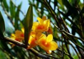 Dendrobium aurantiacum Rchb. f.