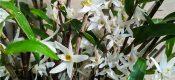 Dendrobium moniliforme (L.) Sw.  picture