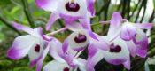 Dendrobium nobile lindl