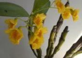 Dendrobium capillipes Rchb. f.