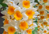 Dendrobium thyrsiflorum Rchb. f. picture