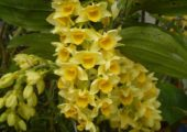 Dendrobium densiflorum Lindl.