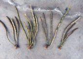 Dendrobium primulinu