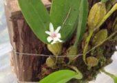 Flickingeria comata (Bl. ) Hawkes
