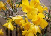 Dendrobium hancockii Rolfe picture