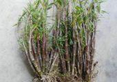 Dendrobium hancockii Rolfe