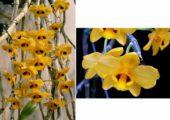 Dendrobium chrysanthum Lindl.