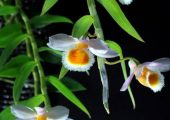 Dendrobium loddigesii Rolfe Picture