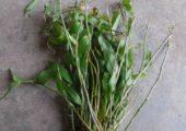 Dendrobium loddigesii Rolfe