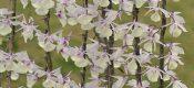 Dendrobium aphyllum (Roxb.)C.E. picture