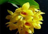 Dendrobium stuposum Lindl.